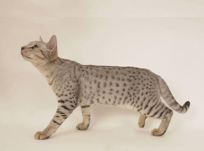 Mèo Ocicat