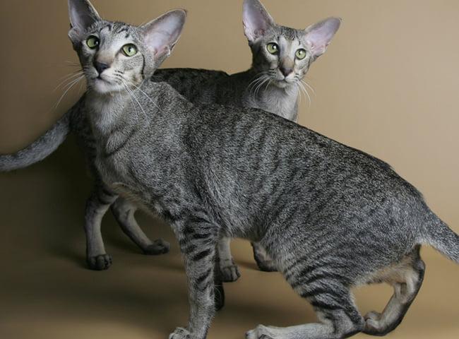 Mèo Oriental