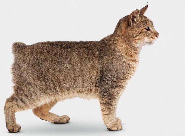 Mèo Pixi bob