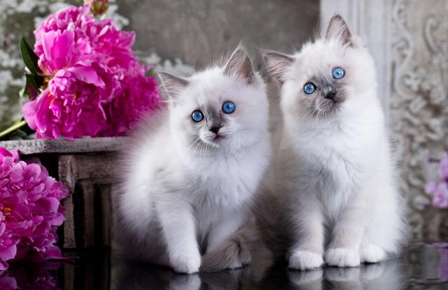 meo ragdoll blue con