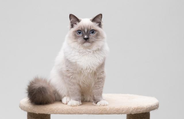 Mèo Ragdoll Blue