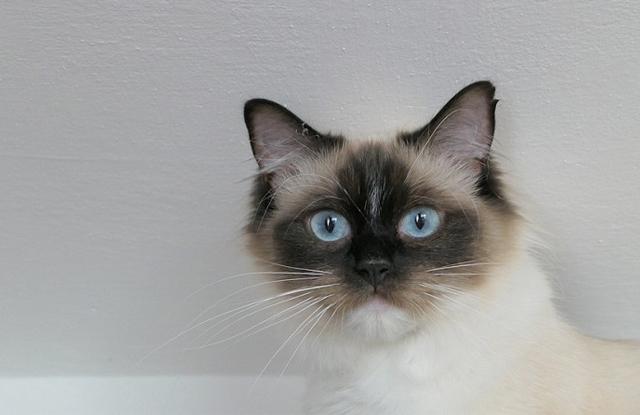 Mèo Ragdoll Đen