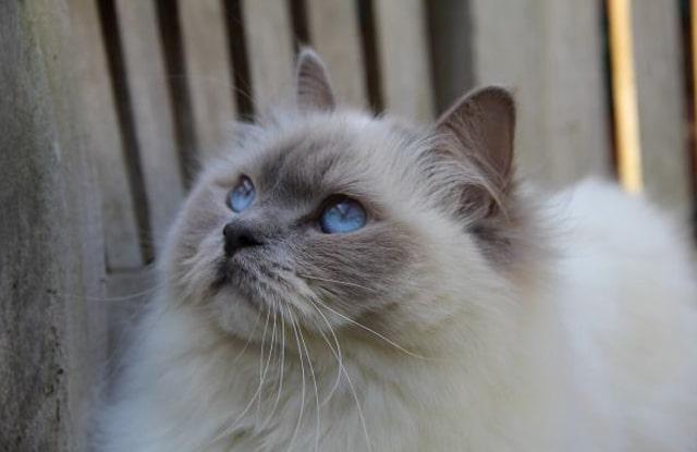 Mèo Ragdoll Kêu Nhiều
