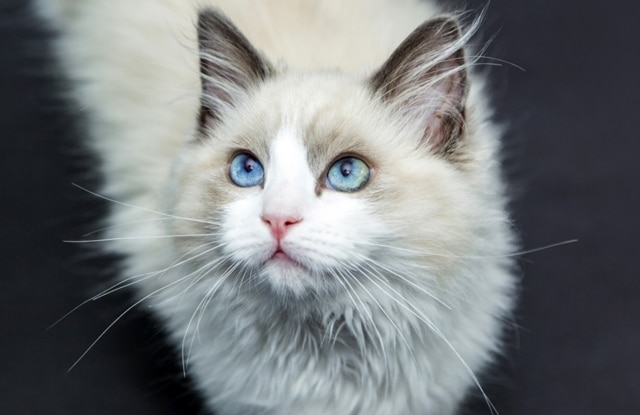 Mèo Ragdoll Sống Được Bao Lâu