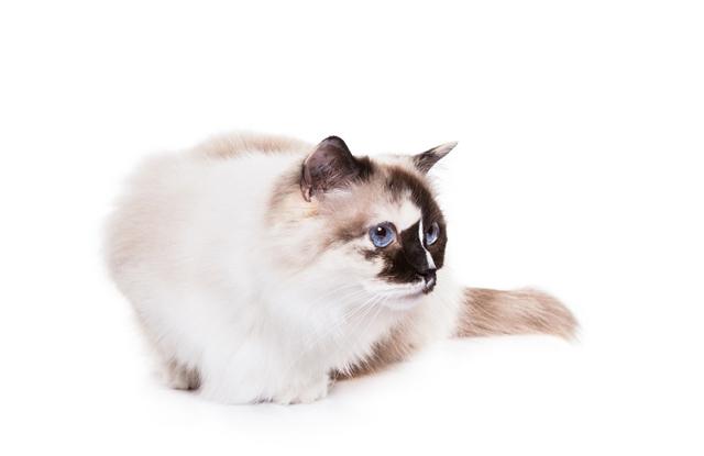 Mèo Ragdoll Tortie