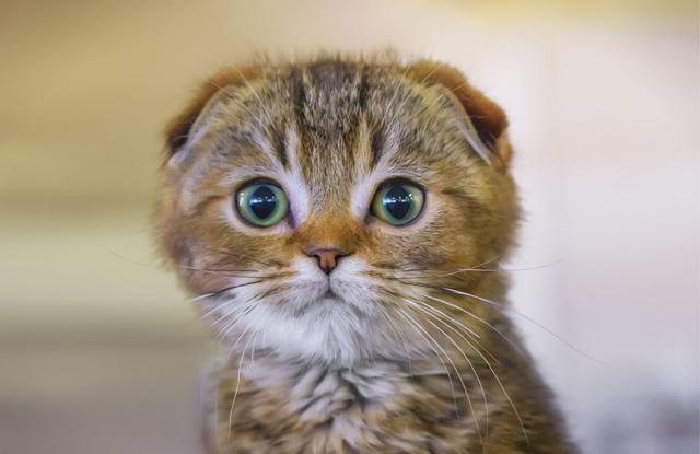 Mèo Tại Cụp Sống Được Bao Lâu