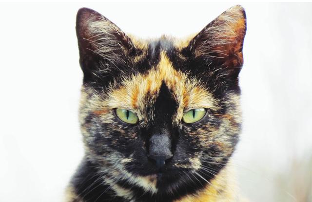 Mèo Tam Thể Đực
