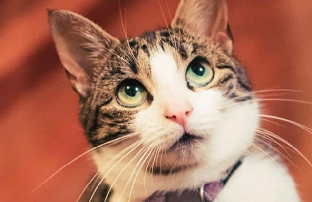 Mèo Tam Thể Sống Bao Lâu
