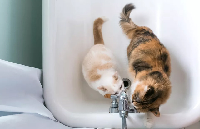 Mèo Thích Phòng Tắm