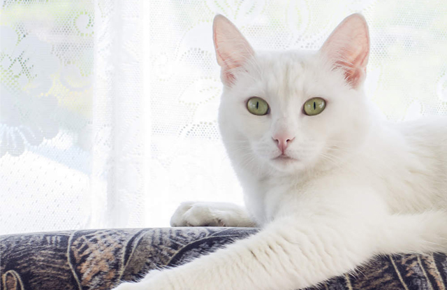 Mèo Trắng