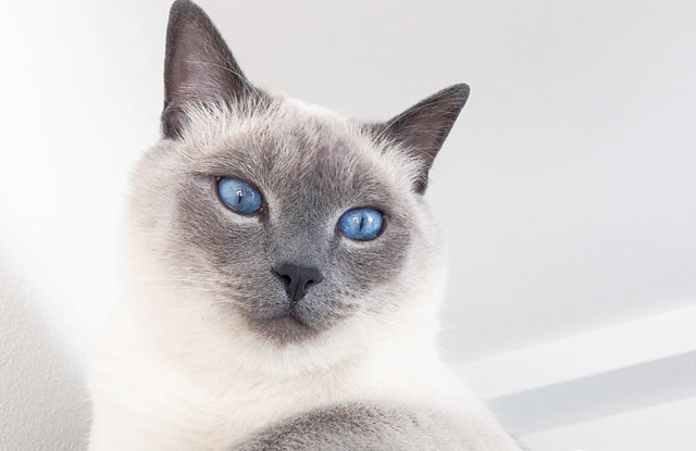 Mèo Xiêm Blue Point