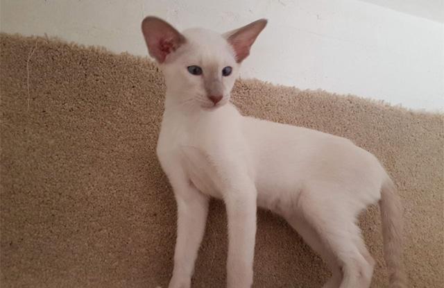 Mèo Xiêm Lilac