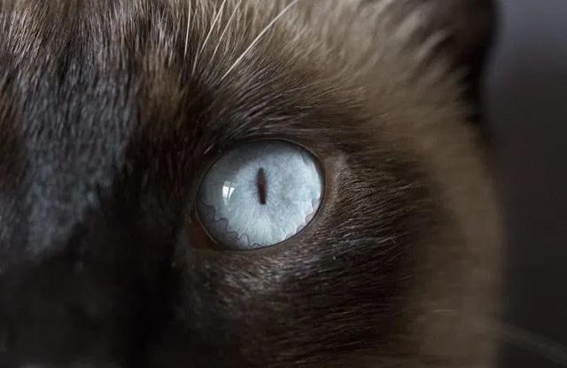 Mèo Xiêm Lông Xù