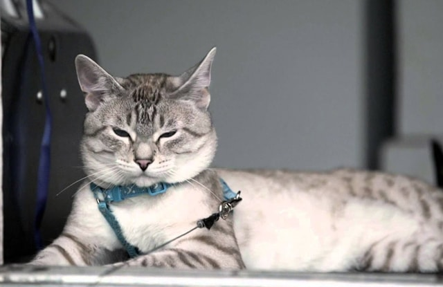 Mèo Xiêm Lynx