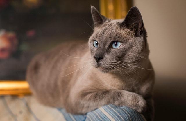 Mèo Xiêm Sô Cô La
