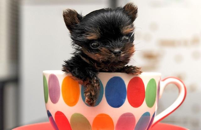 mua giong cho teacup