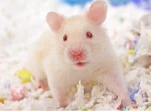mua long cho chuot hamster bear
