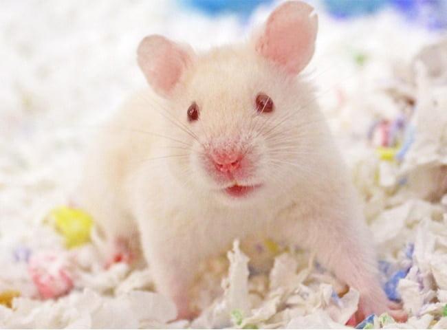 mua lồng cho chuột hamster bear ở đâu
