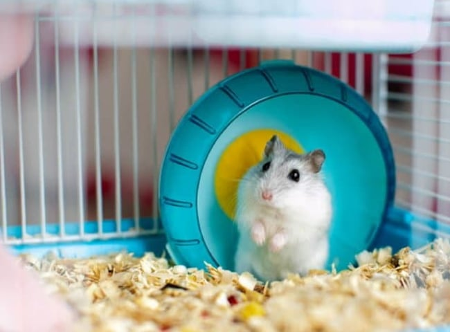 mua lồng chuột hamster lùn campell robo winter white