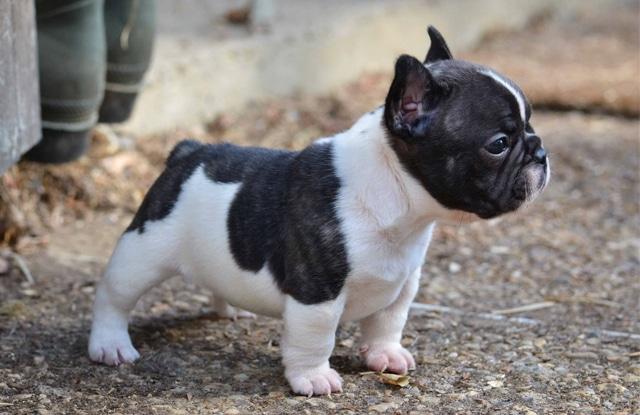 ngoai hinh cho bulldog phap mini