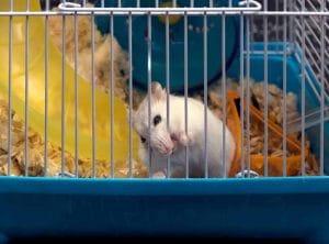 nguyen nhan chuot hamster gam long cach khac phuc