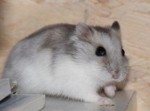 nuoi chuot hamster winter white
