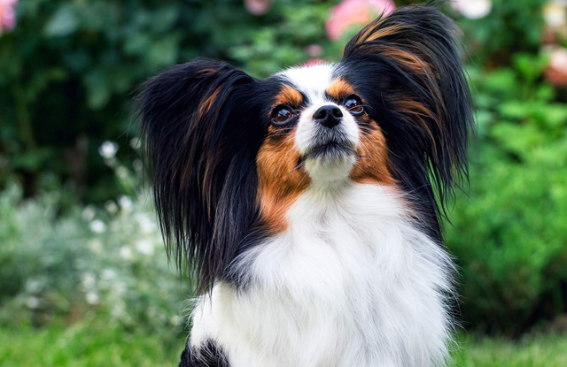 papillon giong cho toy