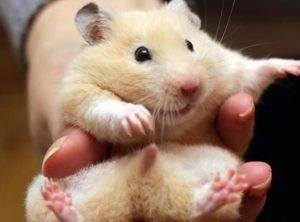phan biet hamster duc va cai
