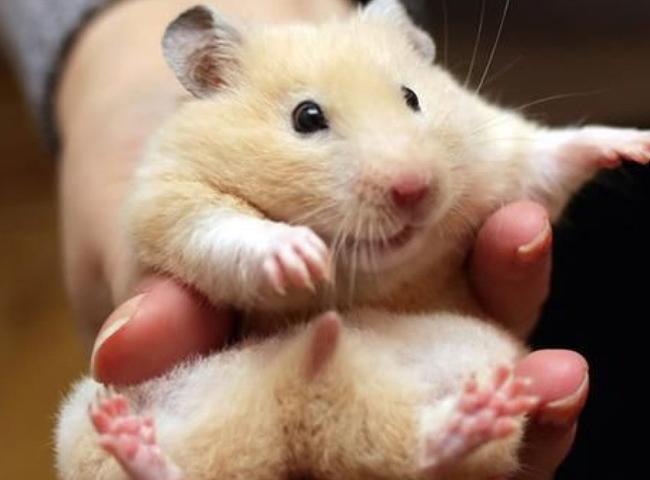 Phân Biệt Hamster Đực Và Cái