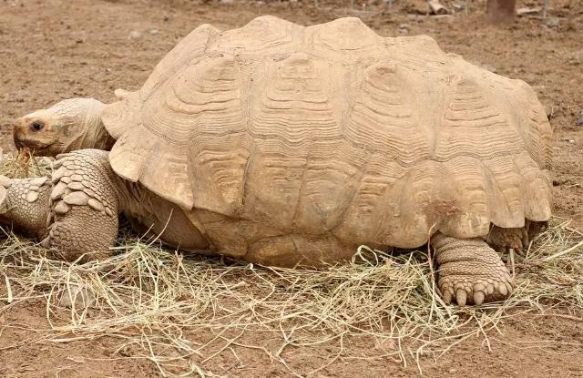 Rùa Sulcata