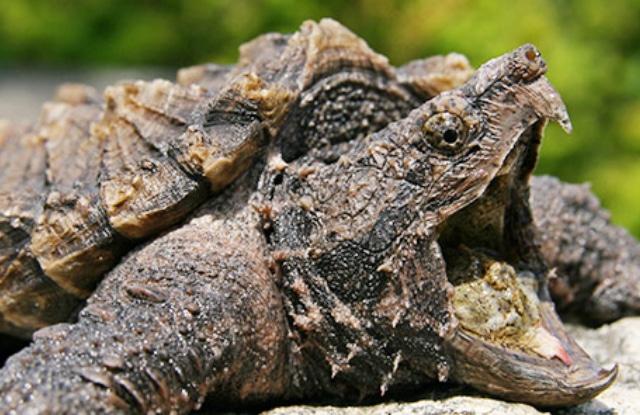 Rùa Cá Sấu