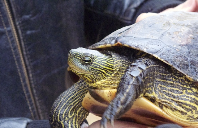 Rùa Cổ Sọc