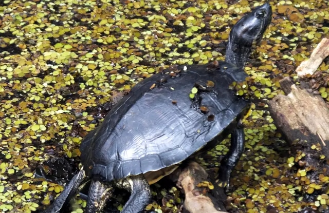 Rùa Common Musk