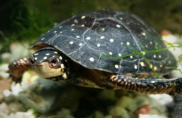 Rùa đốm