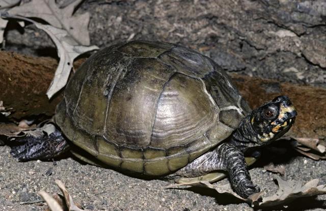 Rùa Hộp Ba Ngón