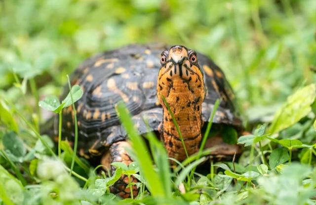 Rùa Hộp Miền Đông