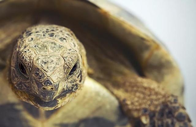 Rùa Hy Lạp