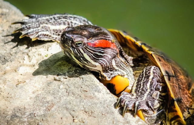Rùa Tai Đỏ Ăn Gì