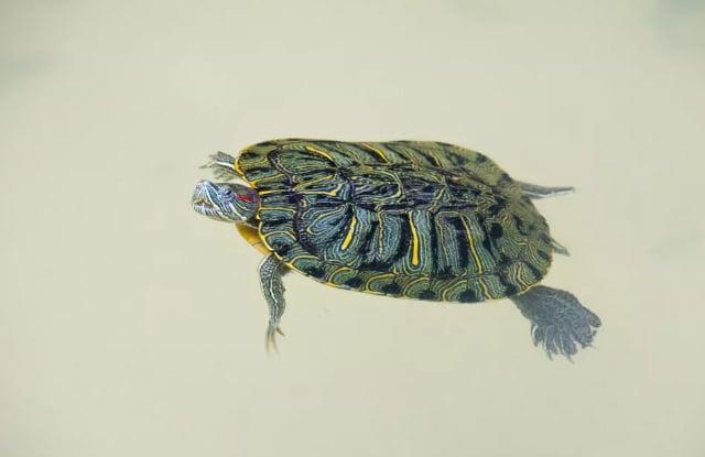 Rùa Thủy Sinh