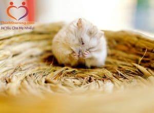 rung long o chuot hamster