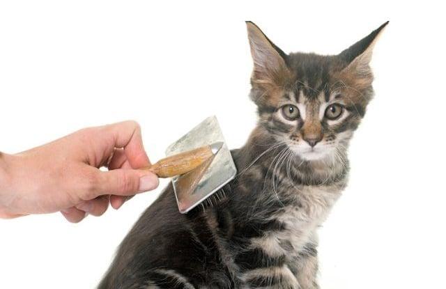 Sai Lầm Khi Chải Lông Cho Mèo