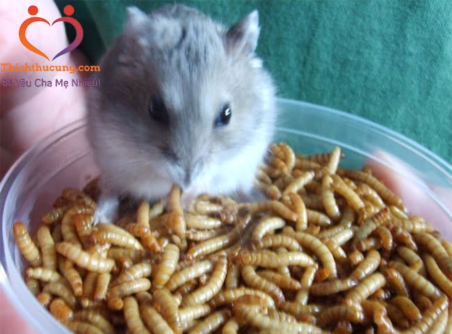 Sâu Khô Cho Chuột Hamster