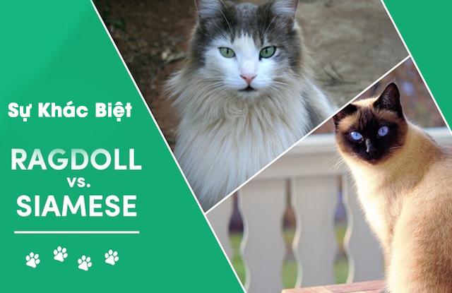 Sự Khác Biệt Giữa Mèo Xiêm Và Mèo Ragdoll