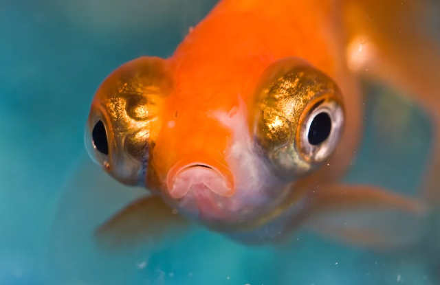 Sưng Mắt Ở Cá