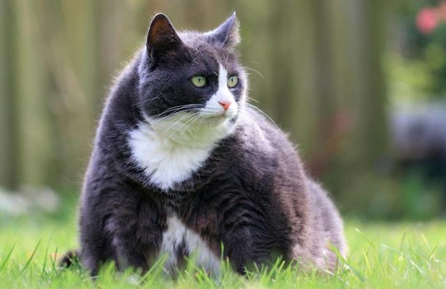 Tại sao cần giảm Cân Cho Mèo