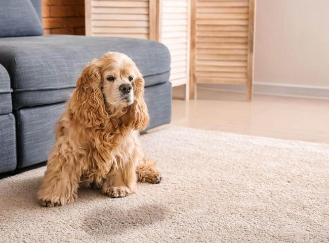 Chó Đi Tiêu Trong Nhà