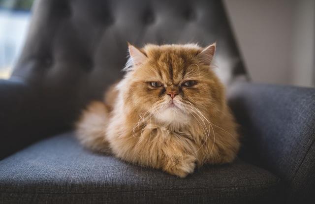 Tại Sao Mèo Ba Tư Phổ Biến