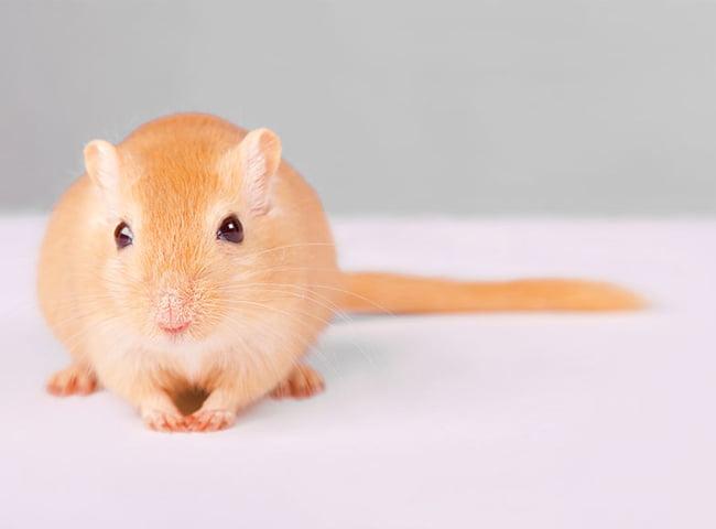 tắm cho chuột nhảy