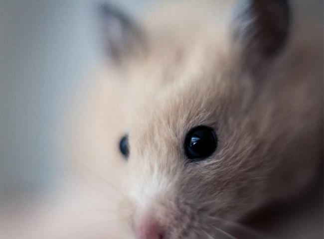 Thị Lực Của Chuột Hamster