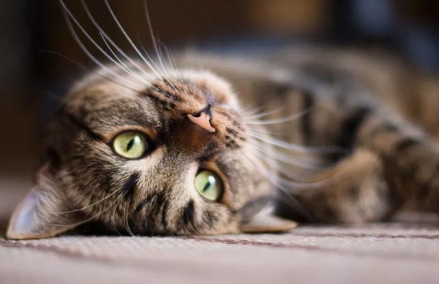 Thiếu Máu Truyền Nhiễm Ở Mèo
